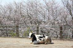 花情報2014/桜 成田ゆめ牧場 千葉のイベント検索ならオニオンワールド!