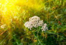Měsíček lékařský - jedna z nejsilnějších léčivých bylin vůbec Bude, Dandelion, Health, Flowers, Plants, Chemistry, Health Care, Dandelions, Plant