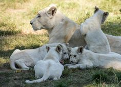 White Lion & Cubs by Colin Langford
