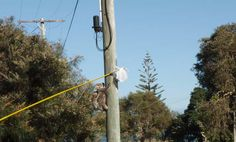Catching a koala in distress with the pole and plastic bag technique. These mum and joey koalas were safely relocated in a nearby park.