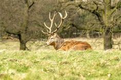 Red deer stag in the Deer Park of Wollaton Hall in Nottingham.