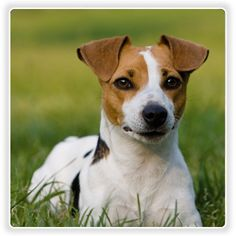 Jack Russell -- Killer, my full-blood chiwawa, looks like this!