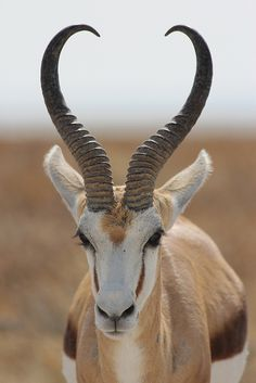 Springbok gazelle with a characteristic habit of leaping (pronking) when disturbed, forming large herds on arid plains in southern Africa. They are in the Bovidae family.