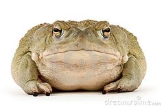 giant Sonoran Desert Toad ( - Google Search