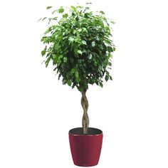 Une plante verte facile à cultiver, qui décore facilement tout intérieur. Rempotée dans un pot Lechuza à réserve d'eau très déco.