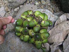 Coyoles. la semilla de adentro tiene sabor a coco