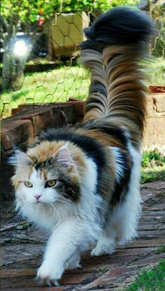 "This is either a Maine Coon or a Norwegian Forest cat. - This is either a Maine Coon or a Norwegian Forest cat…beautiful! ""This is either a Maine Coon o - Cute Cats And Kittens, Baby Cats, Kittens Cutest, Most Beautiful Cat Breeds, Beautiful Cats, Animals Beautiful, Beautiful Pictures, Cute Baby Animals, Funny Animals"