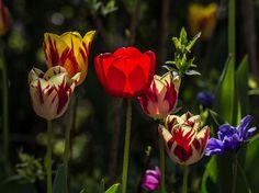 Saatchi Art Artist Pixie Copley; #Photography Pretty #Tulip #Flowers #Print