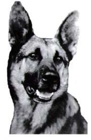 Strongheart (1917 – 1929) was born and raised in Germany, where he was trained to be a police dog and assigned to the German military during World War I.  He was trained as an attack dog, and was a fearless 125-pound *all dog*.  Strongheart was discovered by American director Laurence Trimble, who was famous as an animal trainer.  He and his wife had been searching Europe for a dog that could appear in motion pictures.