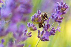 - Flowers, Plants, Lavender, Flora, Royal Icing Flowers, Floral, Plant, Florals, Flower