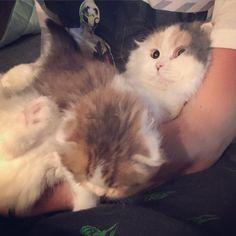 おみるの顔笑 #cat#kitty#scottishfold#chinchilla#mil#zaku#猫#子猫#スコティッシュフォールド#チンチラ#みるたん#おみる#ザク#おザク#パステル三毛#チンチラスコティッシュ#チンチラミックス by kyawaneco http://www.australiaunwrapped.com/