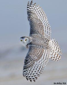 Wings Wide Open - a Snowy Owl - Civetta delle Nevi (Bubo scandiacus)