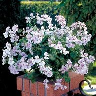 Geranium 'Summer Showers White Blush' The First Ivy-Leaf Geranium from Seed--Great for Baskets!