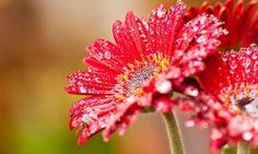 Pink Gerbera Daisy Flower With Water Drops HD Desktop Wallpaper . Hd Flowers, Beautiful Flowers Wallpapers, Flowers For You, Water Flowers, Amazing Flowers, Yellow Flowers, Rain Flowers, Apple Flowers, Red Sunflowers