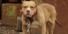 STOP DOG FIGHTING AND ABUSE NOW!!!!!
