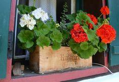 The Urban Gardener: Window Boxes