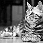 Black American Shorthair Cat