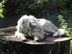 "White Wolf : 17 Photos of ""Sleeping Wolves"" Will Make You Envious to Take a Nap. Sleeping Wolf, Sleeping Animals, Beautiful Wolves, Animals Beautiful, Cute Animals, Wolf Pictures, Animal Pictures, Wolf Poses, Wolf Husky"