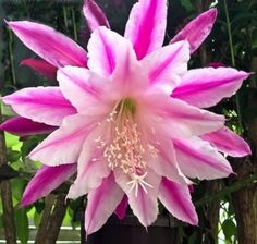 """Don/'s Cuttings D//4 /"""" IMPOSSIBLE DREAM /"""" Epiphyllum,Orchid Cactus"""