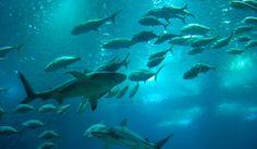 Зловеща #акула изплува от дълбините на океана край #Австралияhttp://sanovnik.bg/n4-54837 #мистерии