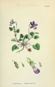 154010 Viola riviniana Rchb. / English Botany, or Coloured Figures of British Plants, ed. 3 [B] [J.E. Sowerby et al], vol. 2: t. 173 (1864)