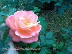 Rose de l'été/Summer rose