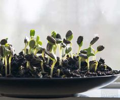 You can grow sprouts right from your kitchen with sunflower seeds! Grow microseeds anytime of the year with just a few supplies. All you need is some water, soil and a sunny window to grow sprouts for a healthy addition to salads and soups.