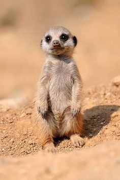 Baby Meerkat Comment voulez-vous résister à ça? Meerkat - Scouting the desert, always on guard against foes and in search of prey. List Of Animals, Animals And Pets, Animals Photos, Animal List, Animals In The Wild, Exotic Animals, Australian Animals, Small Animals, Cute Baby Animals
