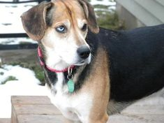 Shirley: ADOPTED!    a 2-3 year old, 40# female Beagle mix.  Shirley is a local rescue. Shirley is cautious meeting new dogs but is very comfortable with men.  Shirley is house-trained & walks on the leash.  Shirley is good at staying out of a crate at home during the day & at night. Shirley loves attention, are you the family to give her a forever home? Submit your adoption application at www.lokigrrl.org or meet Shirley at our next adoption event!