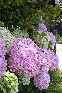 . Hortensia Hydrangea, Hydrangea Garden, Hydrangea Flower, My Flower, White Hydrangeas, Dream Garden, Garden Inspiration, Garden Plants, Herb Garden