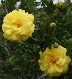 Harrison's Yellow (Hybrid Foetida) 1830. Also known as the Oregon Trail Rose & the Yellow Rose of Texas, this rose was widely planted in the American West by pioneers and prospectors. Foliage is small & rich green, and the thorny canes are covered in spring with brilliant yellow flowers. Very fragrant, very hardy! Image from Kansas Garden Musings: http://kansasgardenmusings.blogspot.com/2013_05_01_archive.html
