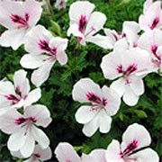 Pelargonium 'Angel Eyes Light'. Window Box plant. Click image to add to your lists and to get care advice from Shoot. Other names: Pelargonium 'Angel Eyes Light', Geranium 'Angel Eyes Light', Pelargonium 'Paceyes', Pelargonium crispum, Angel pelargonium. 'Angel Eyes Light' is a tender, bushy, trailing when mature, evergreen perennial with rounded, lobed, mid-green leaves and, in summer and autumn, clusters of white flowers with purple-red markings in the centre of the upper p