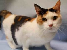 ***UNKNOWN 09/14/16*** HEAD- BUTTING CALICO NEEDS A FOSTER OR ADOPTER TO LIVE!! FARRAH is a SPAYED, 3 year old who was great during her assessment. She appreciates attention and loved being handled. So it came as no surprise that this girl earned a terrific AVERAGE RATING! OFFER TO FOSTER OR ADOPT THIS