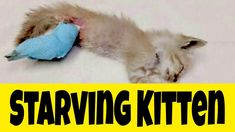RESCUE STARVING KITTEN // KITTEN MEOWING FOR FOOD // KITTENS WANT ATTETION Kitten Meowing, Kittens, Funny Cat Videos, Funny Cats, Diy Cat Hammock, Bloated Tummy, Youtube Cats, Cat Hacks, Right Meow