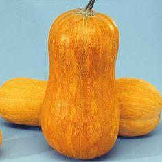 Argonaut Hybrid Butternut Winter Squash Squash Seed Vegetable Seeds Gurneys Seed & Nursery Outstanding, Sweet Flavor!  You'll love Argonaut's honey-sweet flavor and meaty texture; tastes much better than older butternut types like Walt ham! Enormous butternut type, bright gold fruits are 15-27 in. and weigh 30 lbs. or more. Will hold up to 8 months in storage. Vigorous vines are easy to grow. 140 DAYS.
