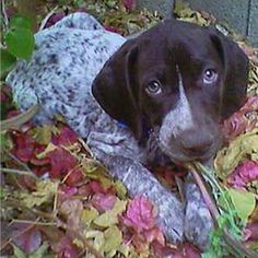 German Shorthair. Love.