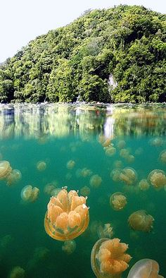 ~ Jellyfish Lake, Republic of Palau, Micronesia ~