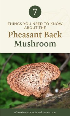 If you want to explore more about new mushroom varieties, check out the pheasant back mushroom. Also known as dryad's saddle, this variety is also great if you're foraging and cooking recipes with mushrooms in it. To know more about it, look up these 7 things you must know about pheasant back mushroom.   Discover more about medicinal mushrooms at ultimatemedicinalmushrooms.com #growingmushroomsforprofit #growingmushrooms #medicinalmushroom Mushroom Stock, Mushroom Hunting, Dryad's Saddle, Health Benefits Of Mushrooms, Mushroom Varieties, Growing Mushrooms, Cheese Cloth, Mushroom Recipes, Pheasant