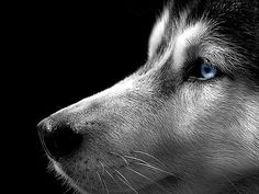 siberian husky wallpaper - Google Search