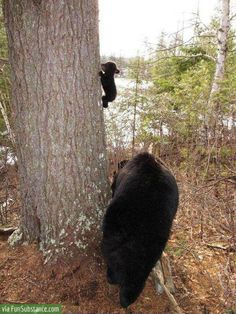 Baby Bears First Climbing Lesson