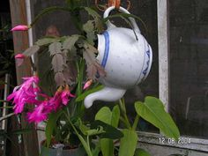 teapot garden...I have a very similiar teapot and some fuschia in another pot.