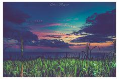 Sugar cane ... #reunionisland #island #sugarcanefields #974 #igers974 #insta974 #wonderfullcolors #sunsethunter #greenisland #landscape #landscapephotography #landscaper #iledelareunion #lareunion #islandphotography #igerslareunionchallenge #igerslareunion #planetearth #indianocean #97442 #saintphilippe #moodphotography