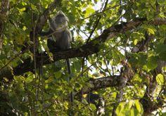Silver Langur Sukau Kinabatangan River Borneo  #silverlangur #kinabatanganriver #borneo #adventure #jungle #ape #monkey