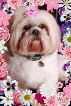 Lhasa Apso ~ an independent but truly loyal breed