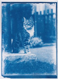 After Discovering a 120-Year-Old Time Capsule, Photographer Develops Two Cyanotypes of Cats | Colossal Old Images, Old Photos, Cyanotype Process, Colossal Art, Old Cats, Time Capsule, Photography Projects, Vintage Photography, Cute Cats
