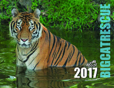 """IT'S HERE – Don't miss out on YOURS! The 2017 Big Cat Calendar is NOW Available.  http://big-cat-rescue.myshopify.com/products/calendar-big-cat-rescue13-month glossy color calendar features the big cats who call Big Cat Rescue home.  Each month you will enjoy a fabulous big cat image to go wild over! Only a limited number will be printed, so to ensure you receive your 2017 Big Cat Rescue calendar order it today! The calendar is approximately 8.5"""" x 11"""" when closed, 17"""" x 11"""" wh"""