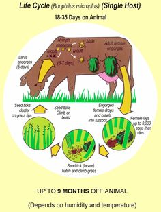 Graphic showing the cattle tick's life cycle