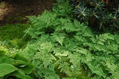 Adiantum venustum – Himalayan maidenhair