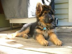 long haired German Shepard   ...........click here to find out more     http://googydog.com