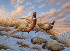 paintings of pheasants | The colors of the rooster pheasant look just spectacular set ...